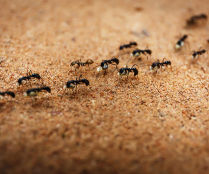Ants Getty Images 468867044