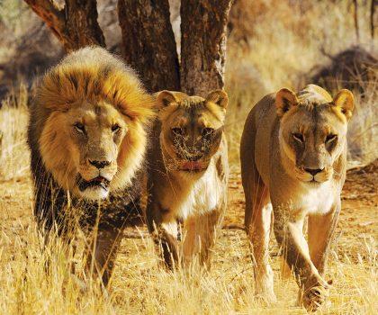 Lions538 719