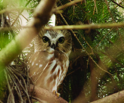 There are eight different owl species in Ohio